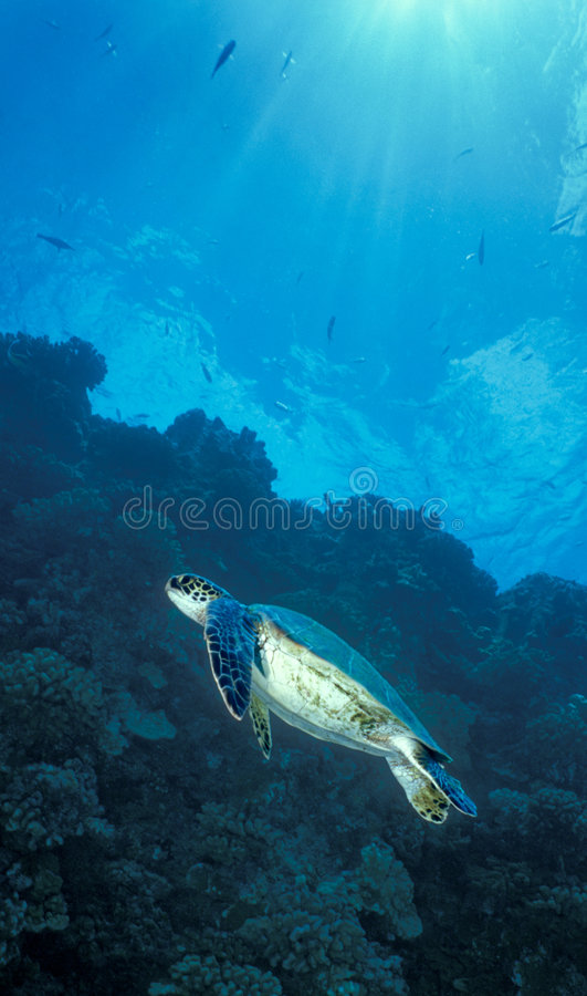 Green Sea Turtle Surfacing. A Green Sea Turtle, Chelonia mydas, surfaces alongside the gas and electric plant outflow pipe off the coastline by Makaiwa Gulch on royalty free stock images