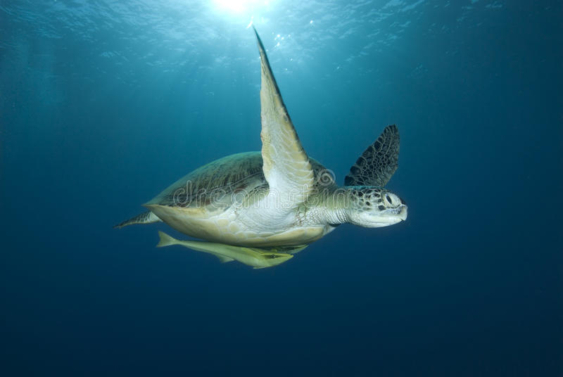Green sea turtle swimming. Green turtle (Chelonia mydas), endangered. Low angle front view of an adult female swimming in blue water. Red Sea, Egypt stock images
