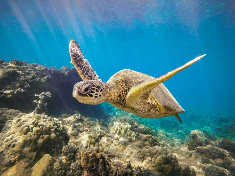 Green Sea Turtle Swimming with Arms Up Maui Hawaii royalty free stock photo