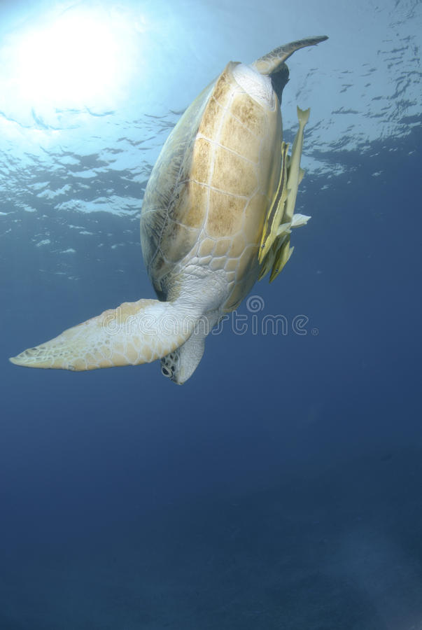 Green Sea Turtle Swimming Downwards Royalty Free Stock Images