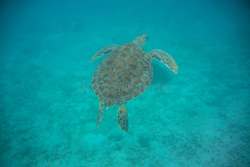 Green Sea Turtle Swimming royalty free stock photos