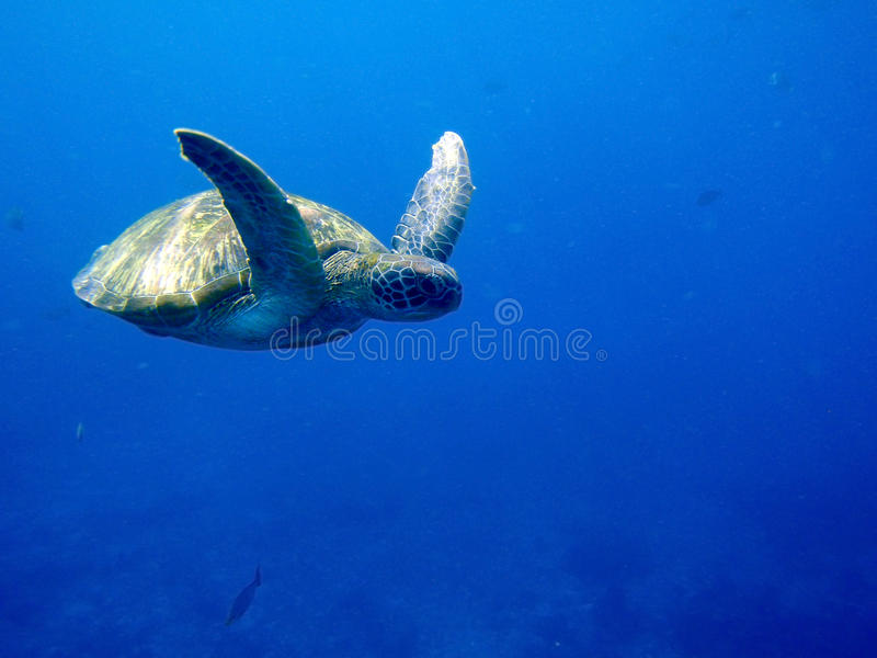 Green sea turtle. Swimming in the Indian Ocean royalty free stock photo