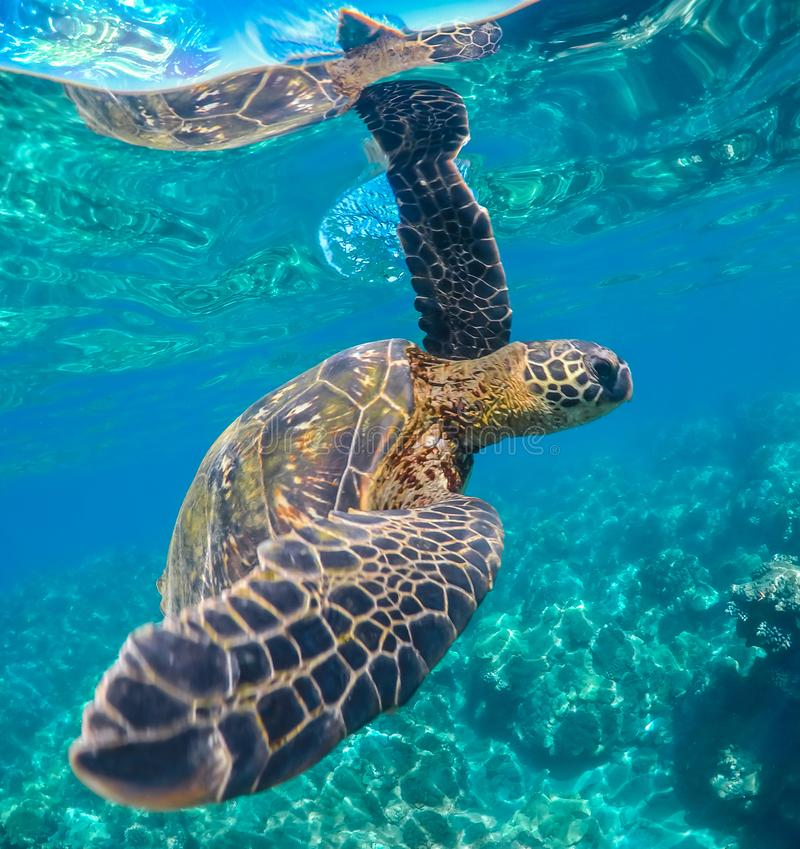 Green Sea Turtle Swimming in Maui Hawaii. This green sea turtle is swimming in the warm sunny waters of Maui Hawaii. He has part of his arm up above the water royalty free stock photos
