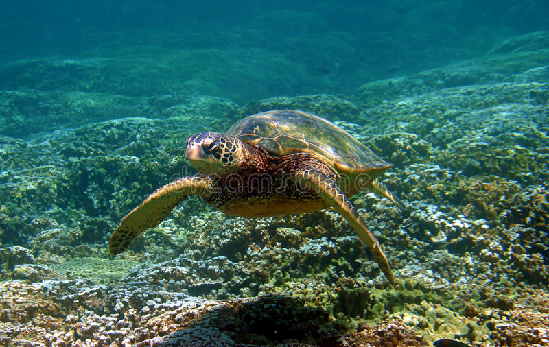 Green Sea Turtle Swimming Underwater in Hawaii stock images
