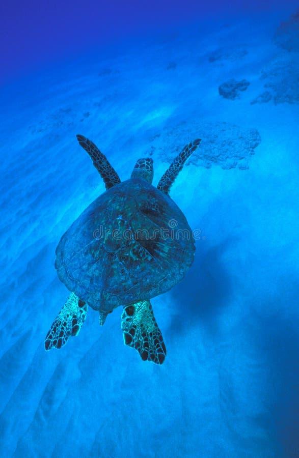 Green Sea Turtle Swims Away stock photography