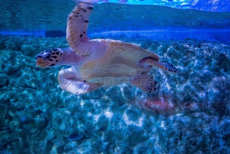 Green sea turtle swims in aquarium stock images