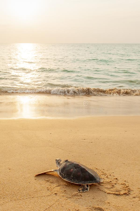 Green Sea Turtle on the tropical beach at sunset, heading for the ocean for the first time. Khao Lampi-Hat Thai Mueang National royalty free stock photos