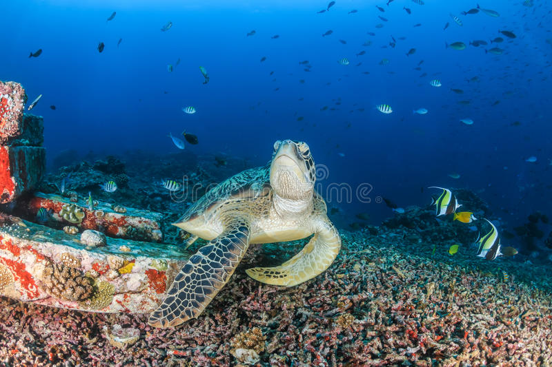 Green Sea Turtle in tropical waters royalty free stock photos