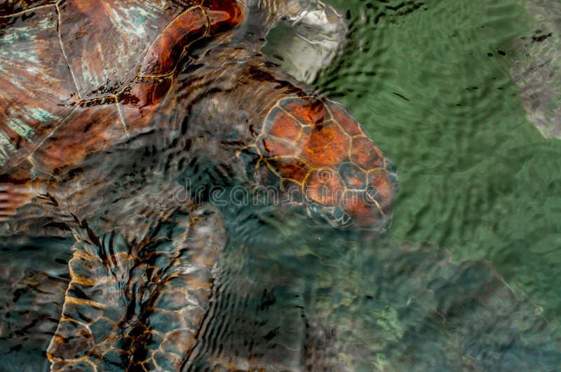 Green Sea Turtle under Water. A green sea turtle swims just under the surface of the water at a turtle sanctuary in Zanzibar royalty free stock images
