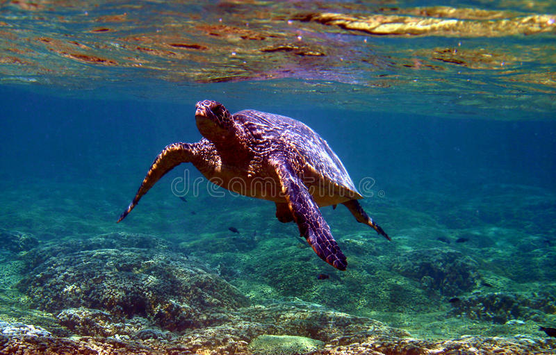 Green Sea Turtle Underwater royalty free stock photo