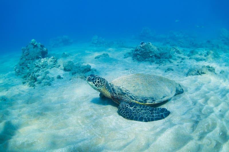 Green sea turtle underwater stock photo