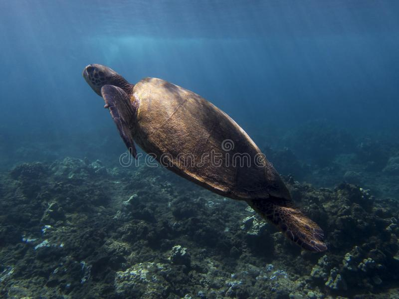 Green Sea Turtle Underwater With Beams of Sunlight on Shell. A green sea turtle swimming underwater in Hawaii with rays of sunlight coming through the water to stock image