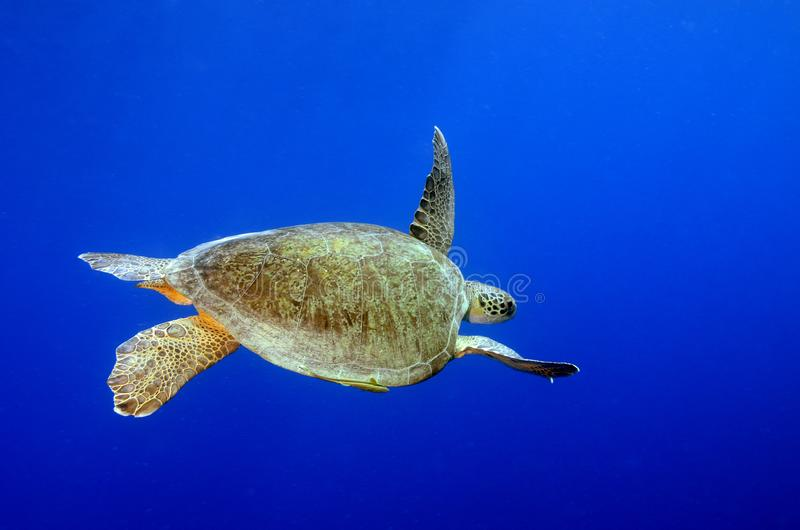 Green Sea Turtle underwater with blue background. Green sea turtles eat sea meadows at the bottom of the sea. They lay eggs on the Mediterranean beaches and royalty free stock photo