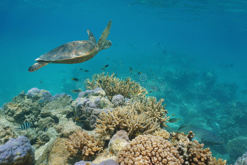 Green sea turtle underwater and coral reef fish. A green sea turtle underwater on a coral reef with tropical fish, Pacific ocean, New Caledonia royalty free stock photography