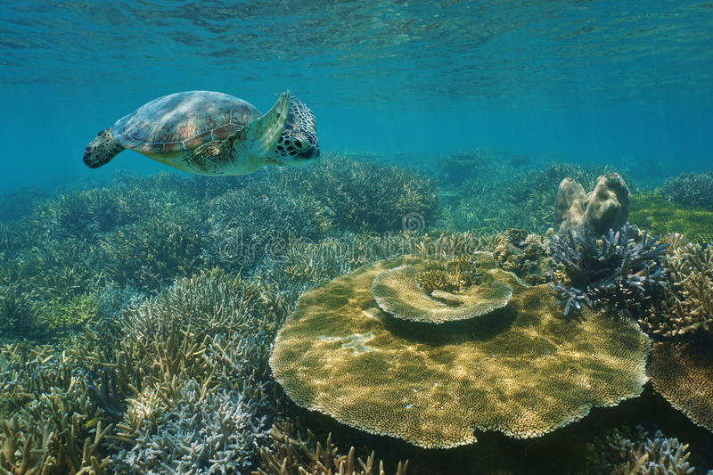 A green sea turtle underwater over coral reef stock photography