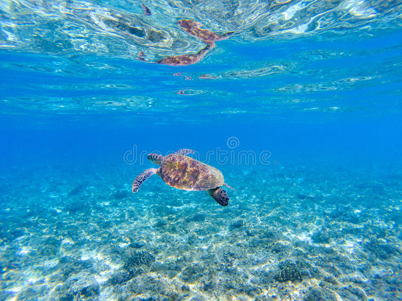 Green sea turtle underwater photo. Sunny tropical lagoon and marine animal. Green turtle in sea water. Marine tortoise swims in shallow seawater. Green sea royalty free stock photo