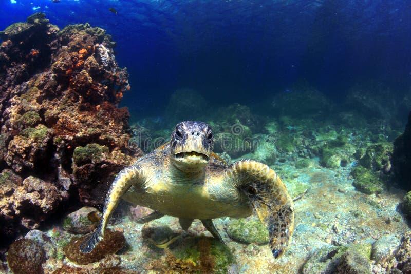 Green sea turtle underwater. Sea turtle relaxing underwater in the Galapagos Islands royalty free stock image