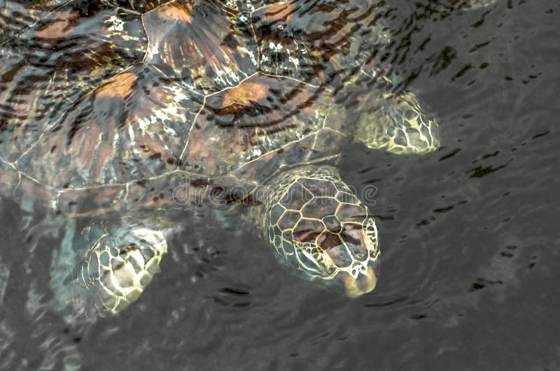 Green Sea Turtle. A green sea turtle in the water at a sanctuary in Zanzibar where they are protected royalty free stock photo