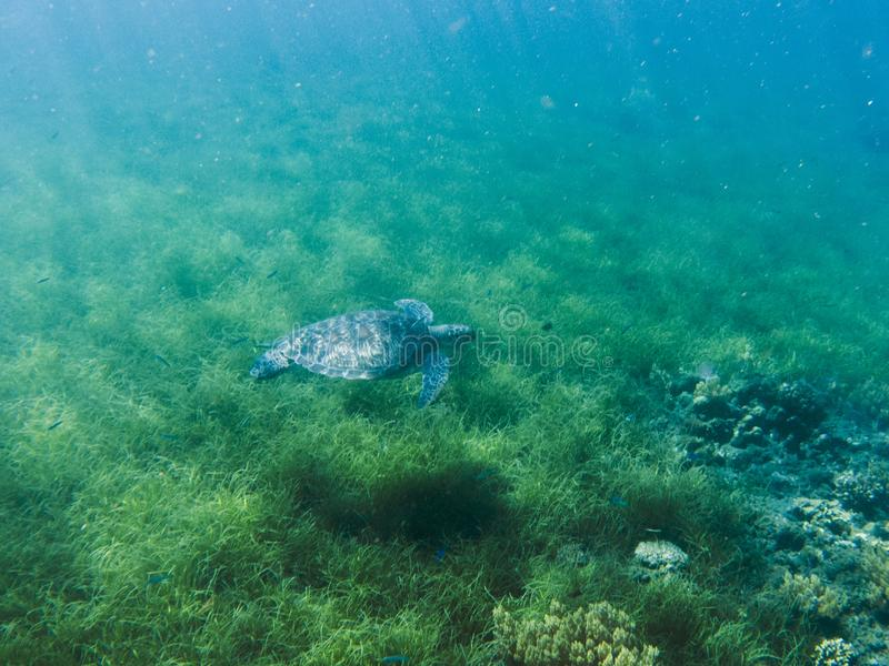 Green sea turtle in sea water. Tropical lagoon inhabitant. Marine species in wild nature. Turtle in tropical sea. Tortoise photo. Big turtle in blue water stock images
