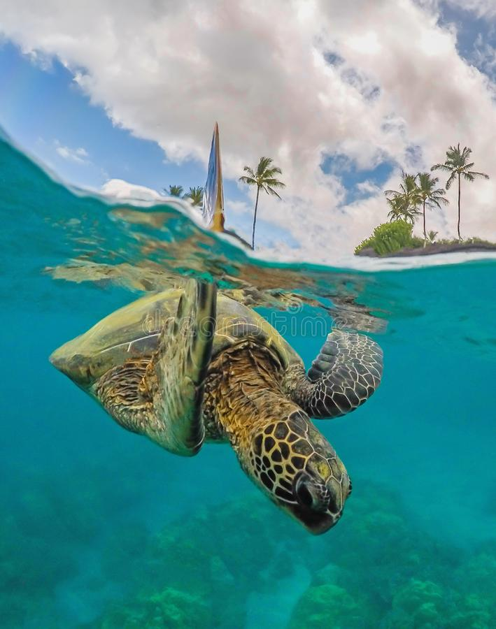Free Green Sea Turtle With Arm Up Above The Water In A Split Shot Stock Photo - 139972350