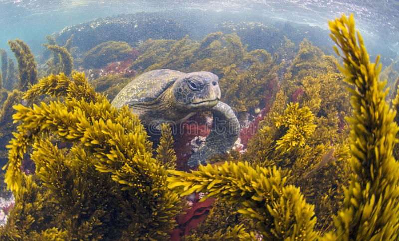 Green sea turtles feeding, Galapagos Islands. The western islands of Isabela and Fernandina are rich upwelling oceanic waters with abundant nutrients and marine stock image