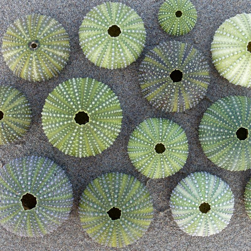 Free Green Sea Urchin Shells On Wet Sand Beach Royalty Free Stock Photos - 131532758