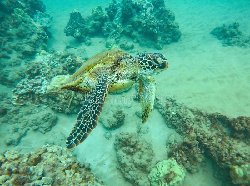 Green Seat Turtle Swimming in the Ocean in Maui, Hawaii stock photo