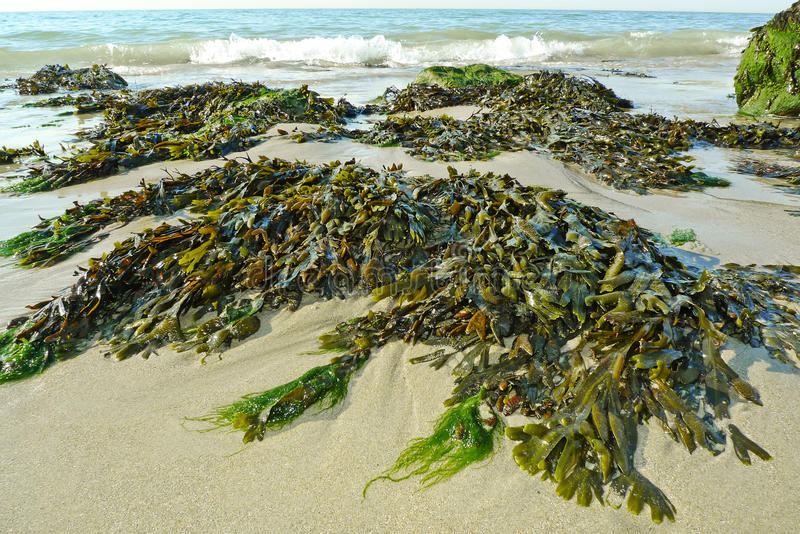 Download Green seaweed on a beach stock photo. Image of sand, salt - 25982506
