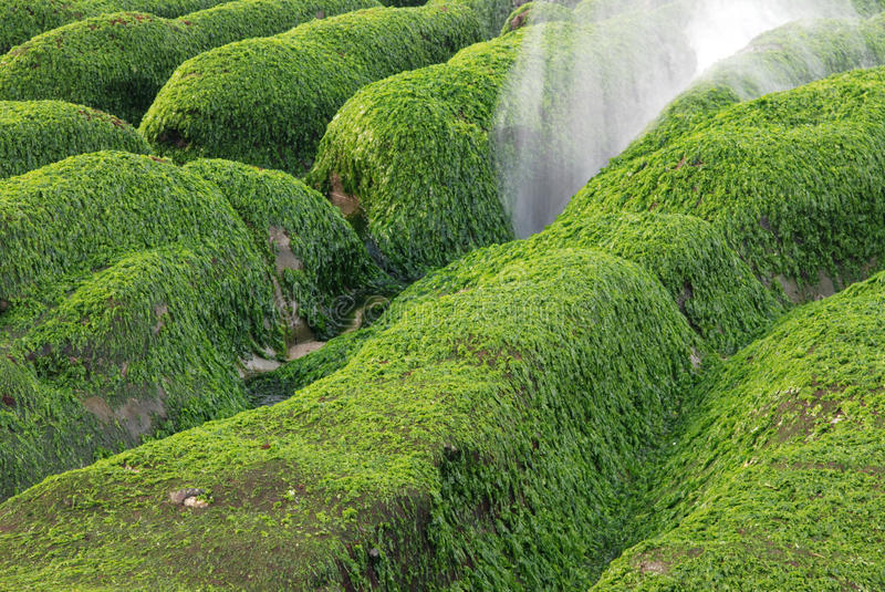 Download Green seaweed rock. stock image. Image of green, beauty - 13546009