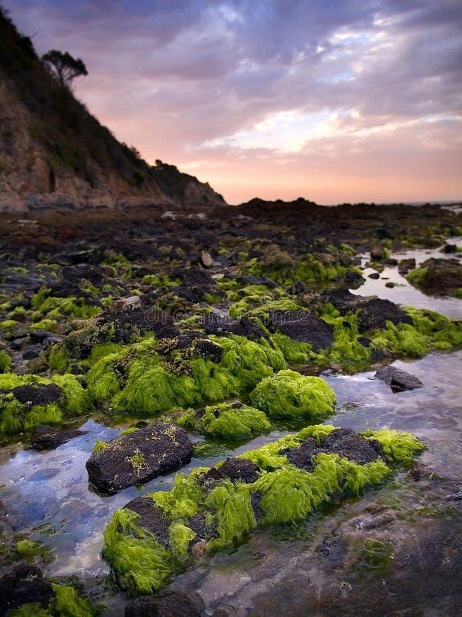 Green Seaweed on Rocks. Bright green seaweed growing on rocks at the beautiful Balcombe Point area in Mount Martha towards dusk stock photos