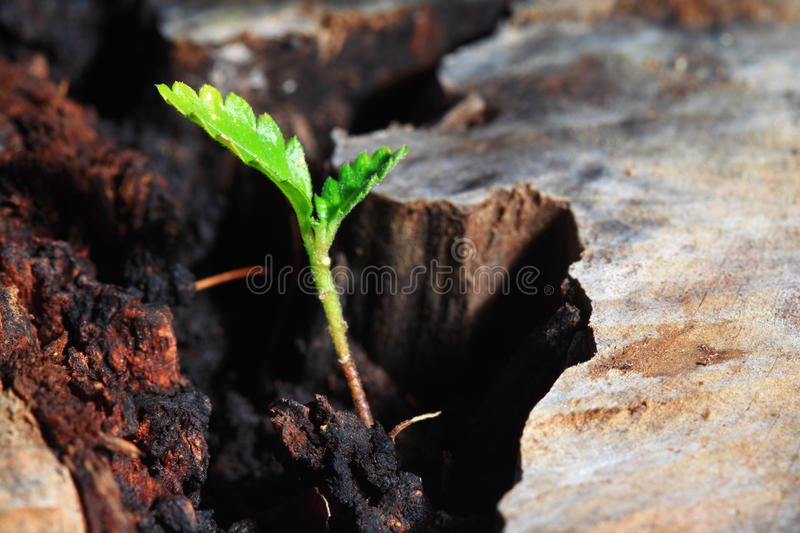 Green seedling concept of new life over old tree. Nice Green seedling illustrating concept of new life over old tree royalty free stock image