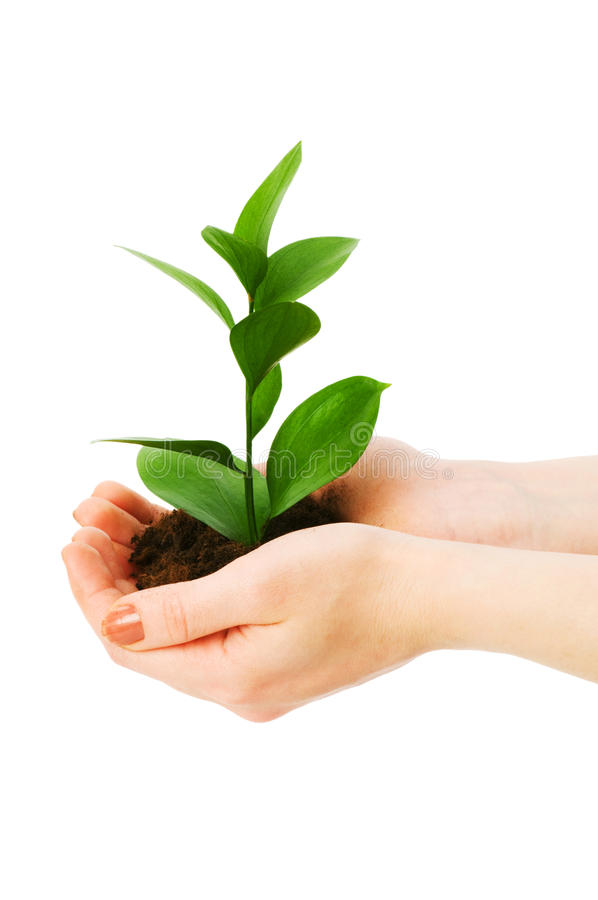 Green seedling in hand isolated royalty free stock image