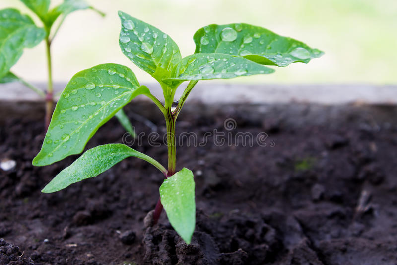 Green seedling pepper in the ground closeup. Young green pepper seedling in the ground closeup royalty free stock photo