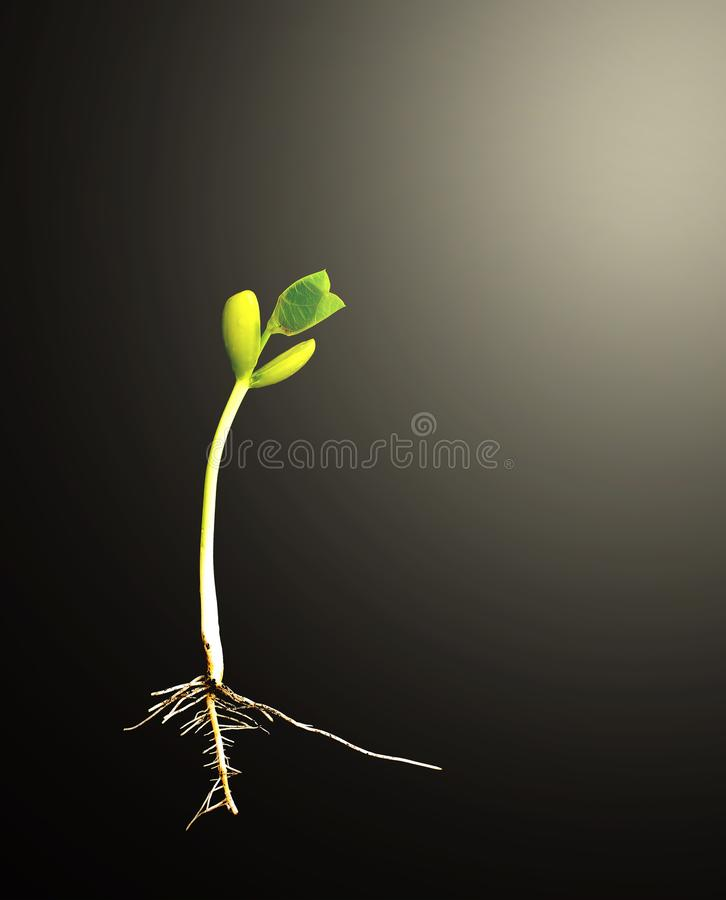 Green seedlings on the black with burst light royalty free stock images