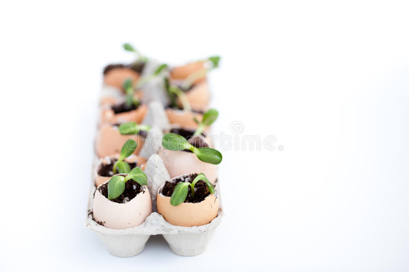 Green seedlings growing out of soil in egg shells royalty free stock images