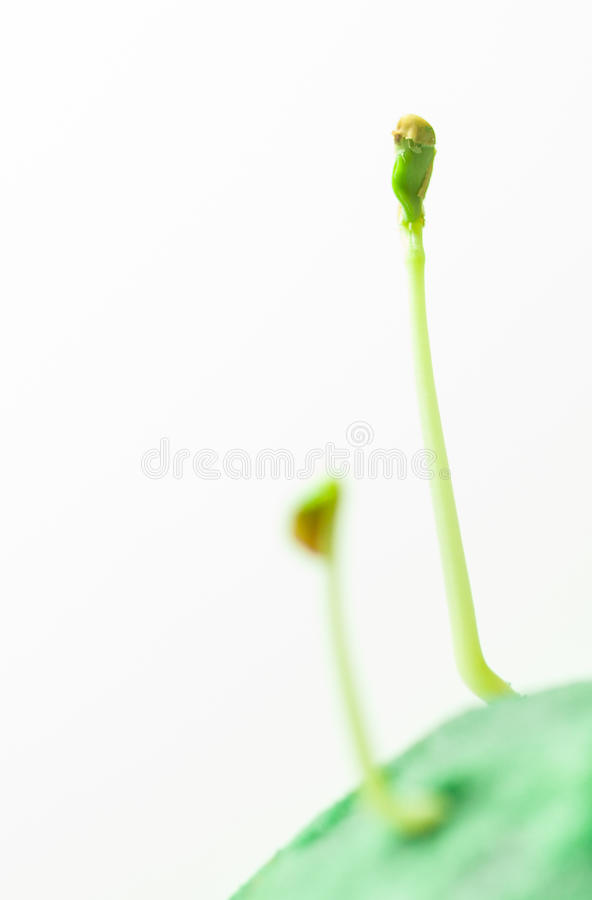 Green seedlings growth. Growth of green seedlings, fenugreek sprout from green surface stock photography