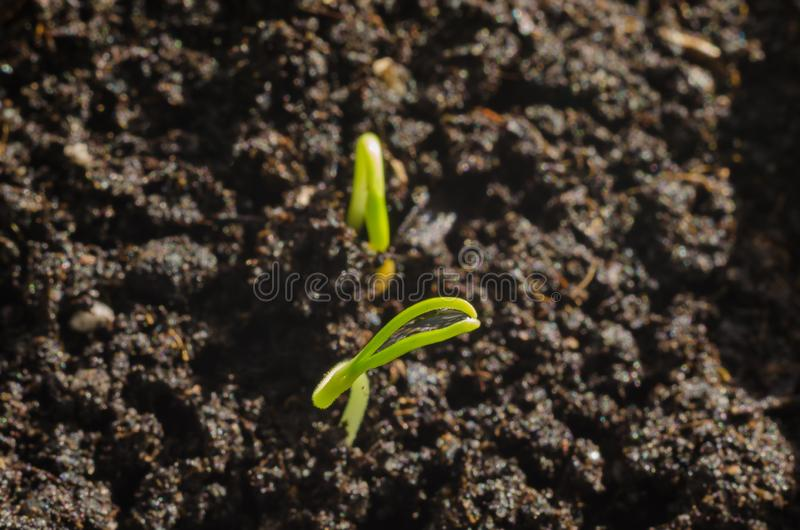 Green pepper seedlings. New concept of life. Green seedlings. New concept of life. Pepper began to grow stock photos
