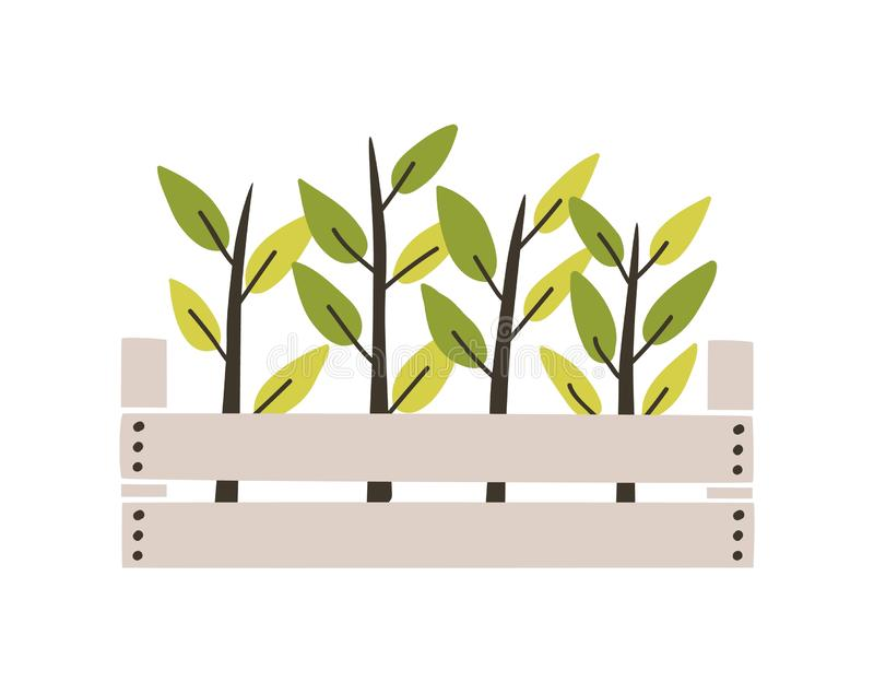 Green seedlings planted in wooden box. Young plants or sprouts growing in garden crate. Spring natural decorative design vector illustration