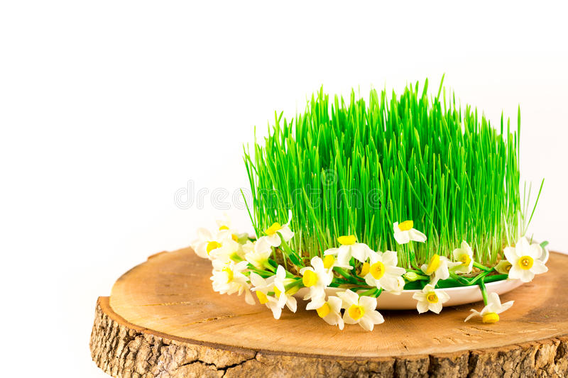 Green semeni on wooden stump, decorated with tiny daffodils stock photo
