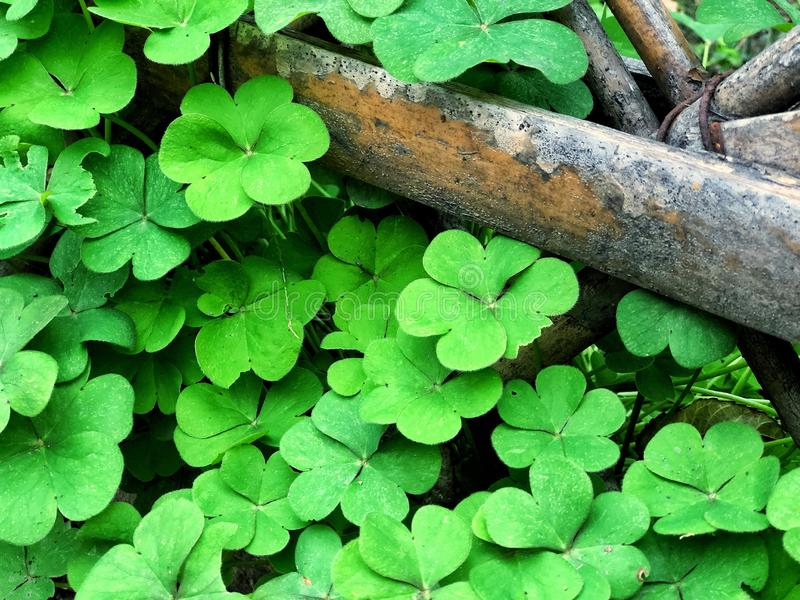 Green Shamrock leaves with an old branch wooden, clover leaves lucky symbol of Saint Patrick`s Day, holiday concept feeling fresh royalty free stock image