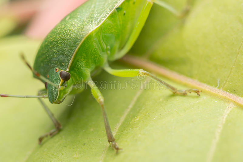 Download Green Shield Bug stock image. Image of colored, beautiful - 26776355