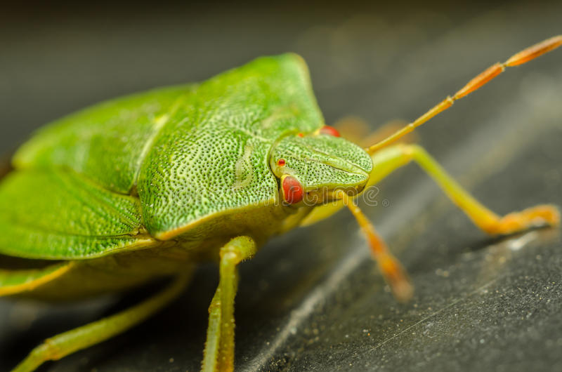 Download Green Shield Bug stock image. Image of antenna, common - 27325865