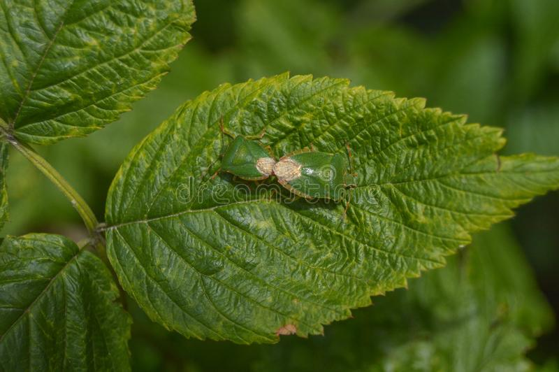 Green shield bug. On green leaves stock image