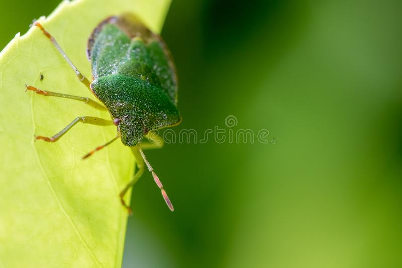 Green shield bug insect. Face and antenna selective focus close-up royalty free stock images