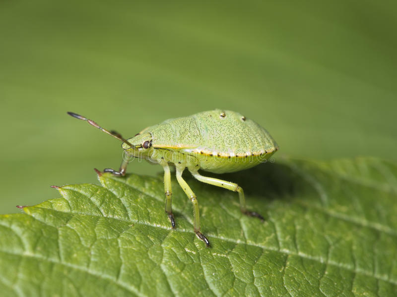 Green shield bug. On a leaf against green background stock image