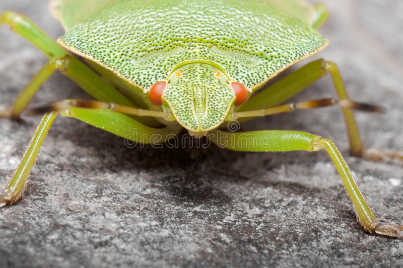 Green shield bug macro royalty free stock images