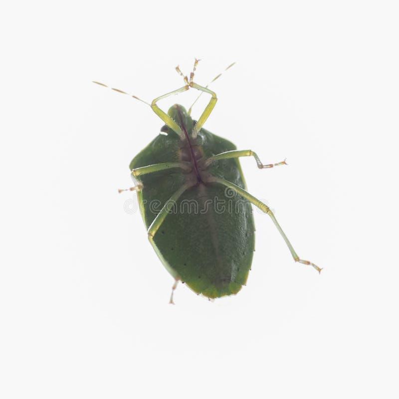 Green shield bug. Nezara Viridula insect stock photography