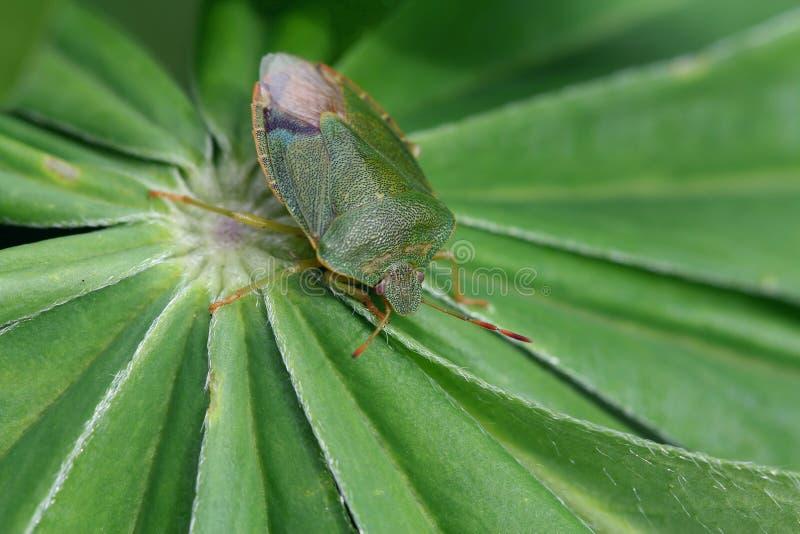 Green shield bug (Palomena prasina) royalty free stock images
