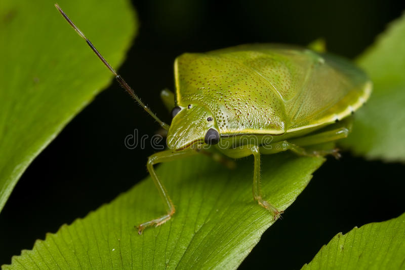 Download A Green Shield Bug/stink Bug Stock Photo - Image: 13112802