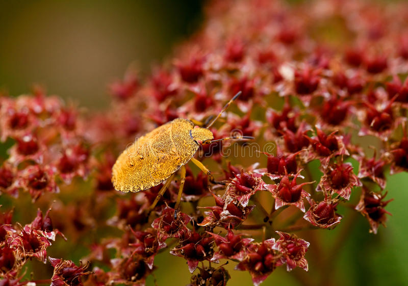 Download Green Shield Bug Yellow Morph Stock Photo - Image: 16023870